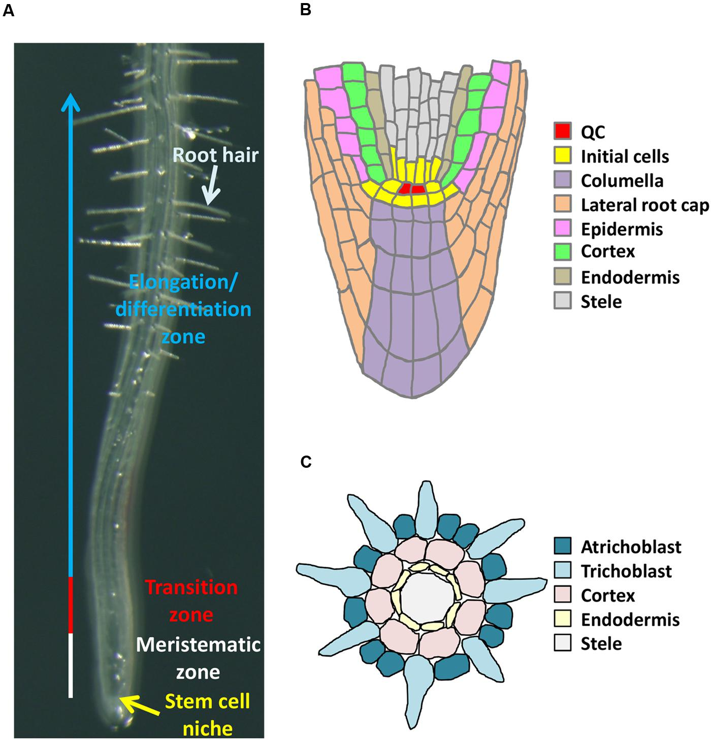 plant root hair diagram wiring for gas furnace frontiers epigenetic control of cell division and