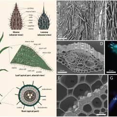 Horsetail Plant Diagram 1967 Firebird Wiring Frontiers Silicification In Grasses Variation Between