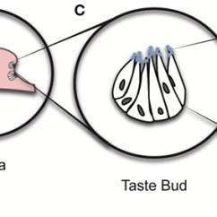 Human Taste Buds Diagram 2004 Chevy Cavalier Engine Of For Kids Free Wiring You Bud Rh Airfreshener Club Map
