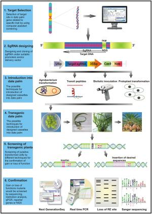 Frontiers | CRISPRCas9: A Practical Approach in Date Palm Genome Editing | Plant Science