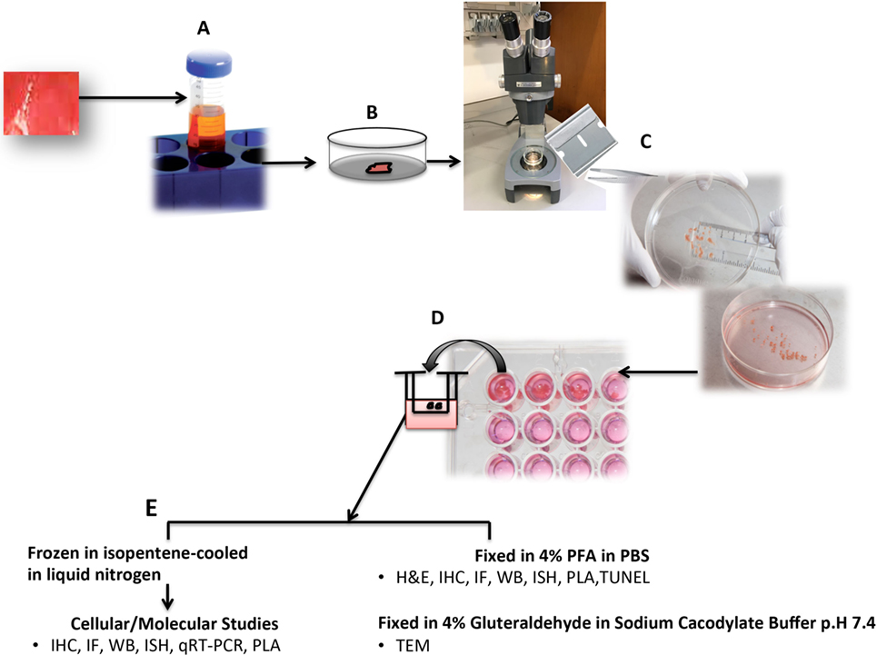 dissecting microscope diagram wiring for a 2 way dimmer switch frontiers | human organ culture: updating the approach to bridge gap from in vitro ...