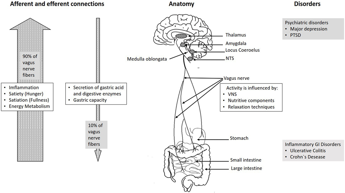vagus nerve diagram dual switch light wiring frontiers as modulator of the brain gut axis in www frontiersin org
