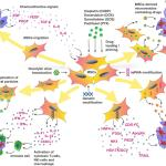 Frontiers Application Of Mesenchymal Stem Cells For Therapeutic Agent Delivery In Anti Tumor Treatment Pharmacology