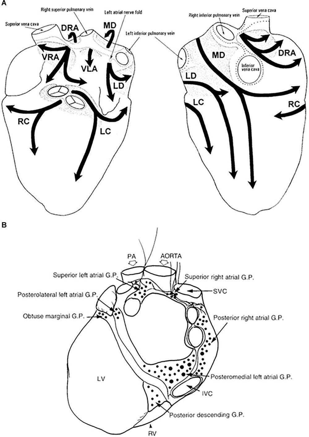 medium resolution of www frontiersin org figure 1 anatomy of the intrinsic autonomic nervous