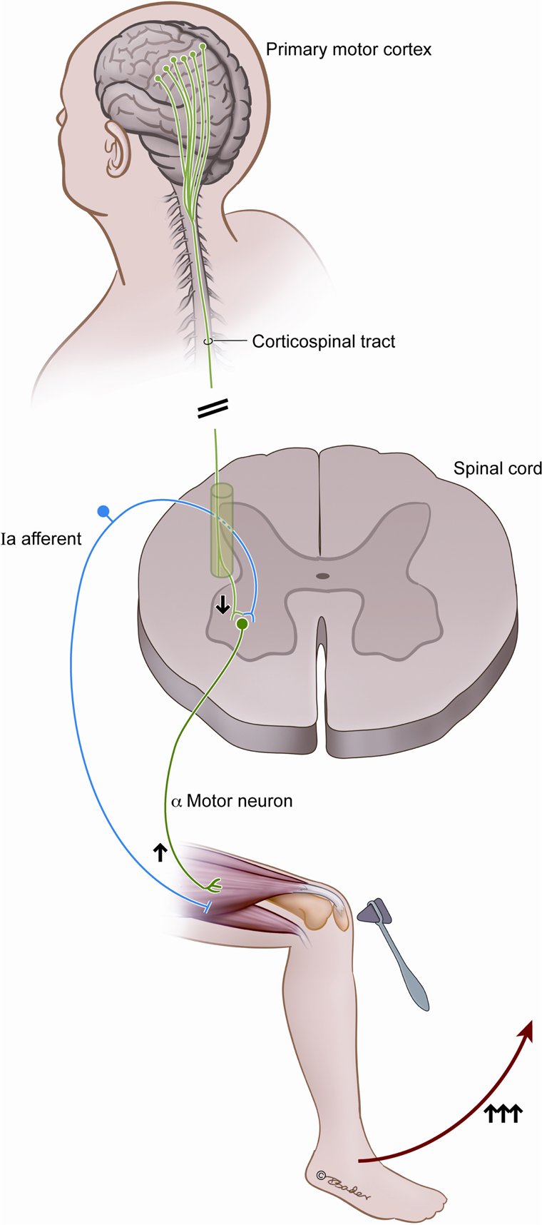 reflex arc diagram mcb wiring frontiers   lower motor neuron findings after upper injury: insights from ...