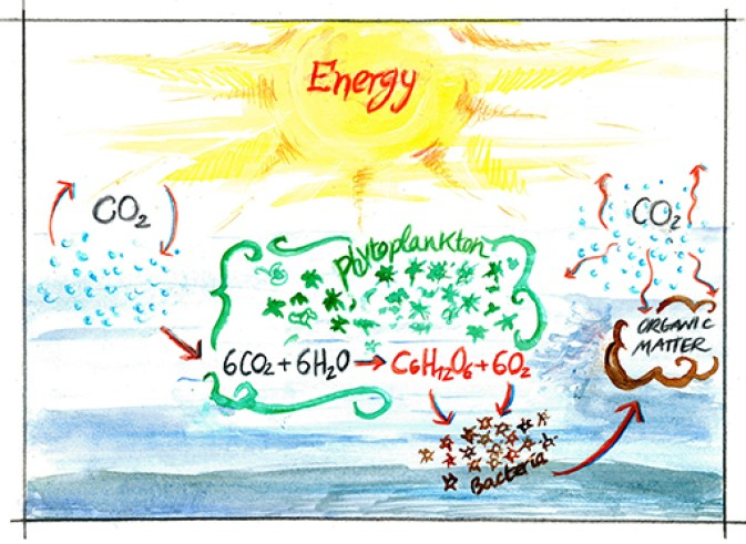 Figure 1 - The biogeochemical carbon cycle in the ocean.