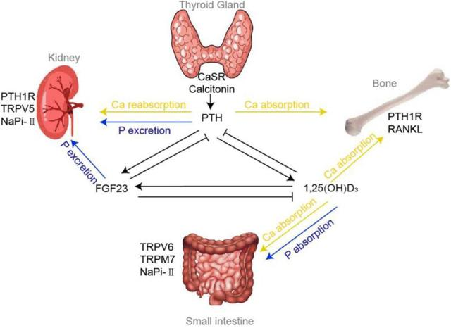 Frontiers  Disorders of Calcium and Phosphorus Metabolism and the