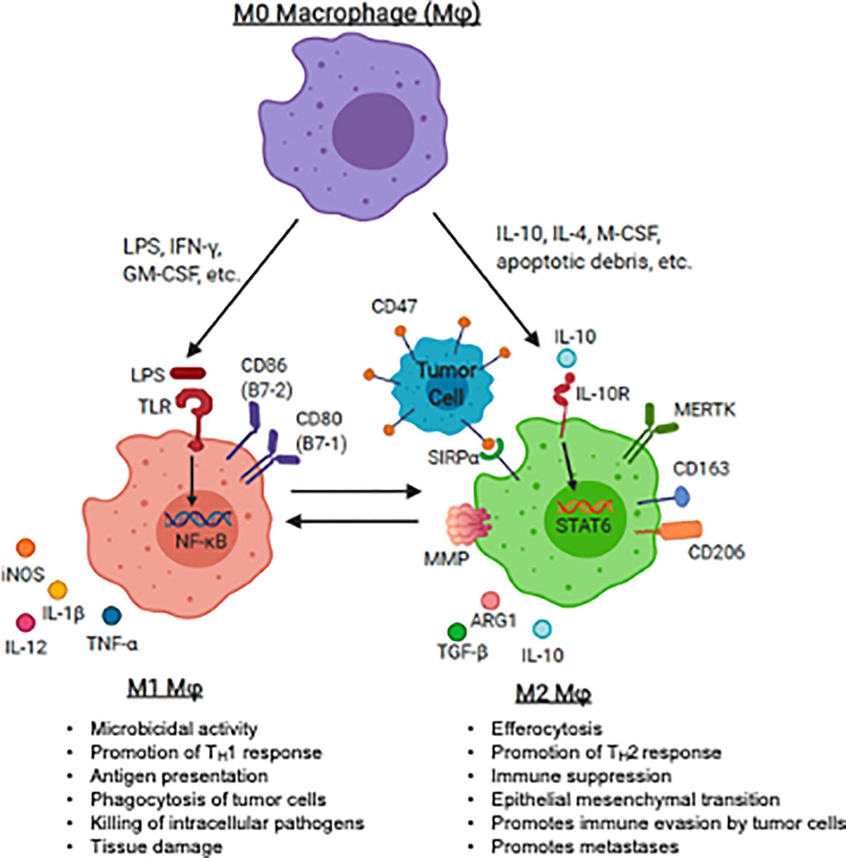 targeting tumor associated macrophages