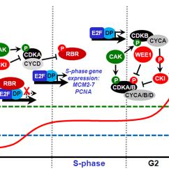 Simple Diagram Of Dna Replication Clipsal Saturn Switches Wiring Frontiers | Cell Cycle Control And Seed Development Plant Science