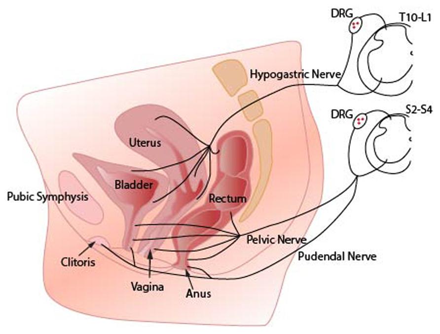 Area Nerves Groin