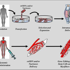 In Vivo Gene Therapy Diagram R33 Radio Wiring Frontiers Emerging Editing Strategies For Duchenne Muscular Www Frontiersin Org