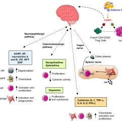 Immune System Diagram Of Loligo The Schematic Sympathetic Nervous Pictuer