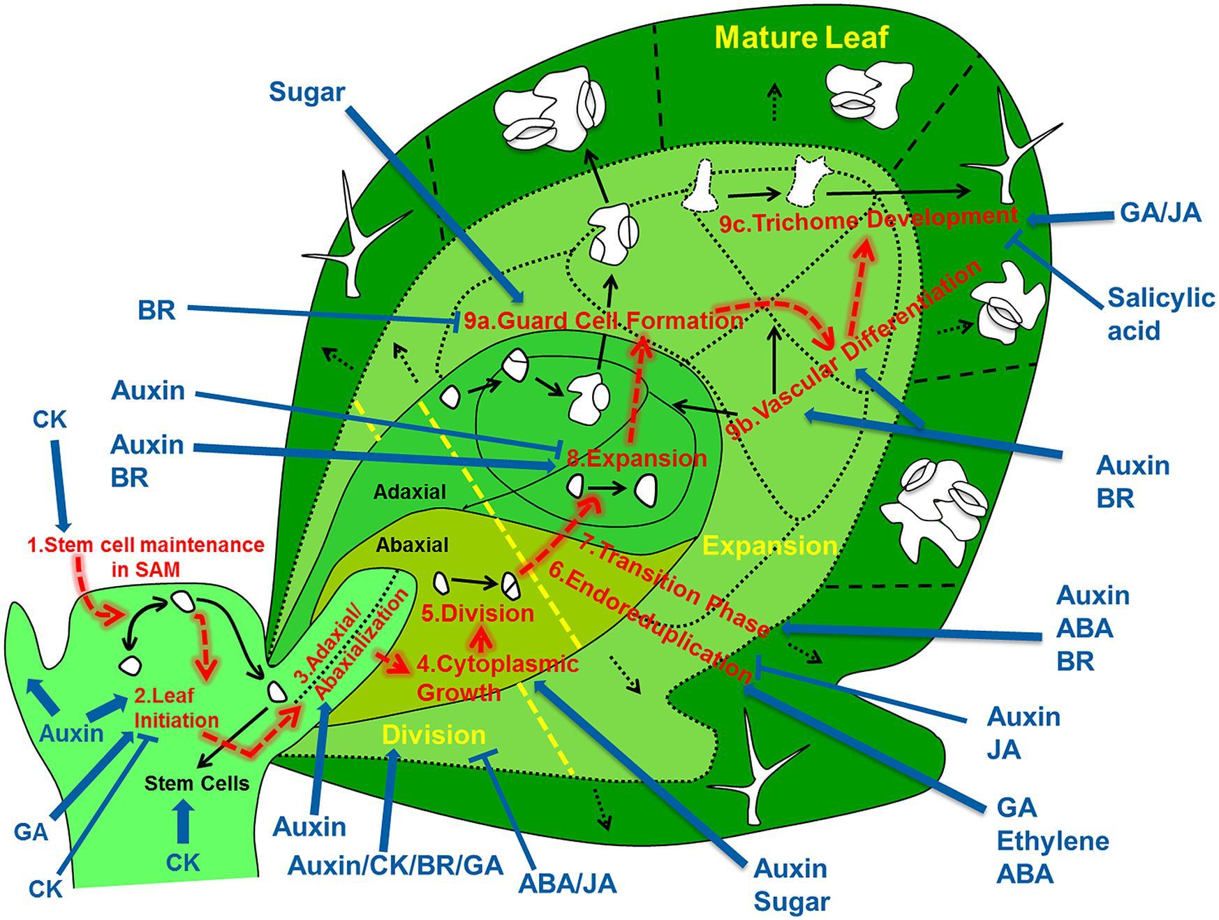 elodea leaf cell diagram er for hotel reservation anatomy elsavadorla