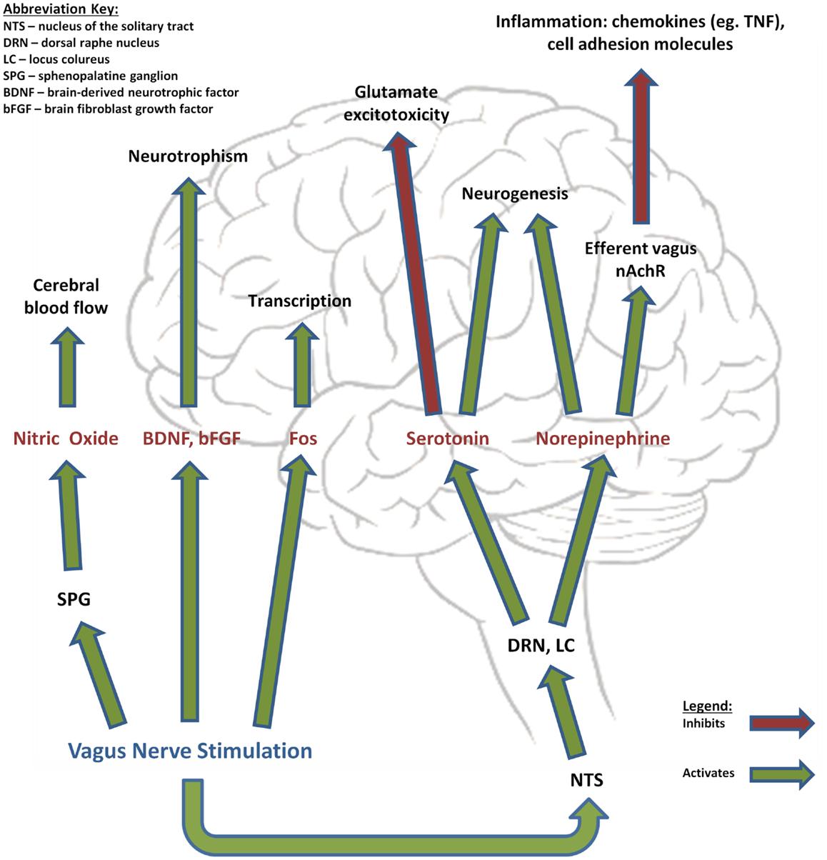 vagus nerve diagram 6 pin round trailer connector wiring location anatomy stimulator carotid sinus