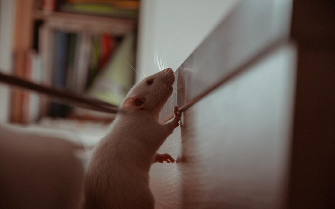 Signs You Have a Rodent Infestation in Your Home