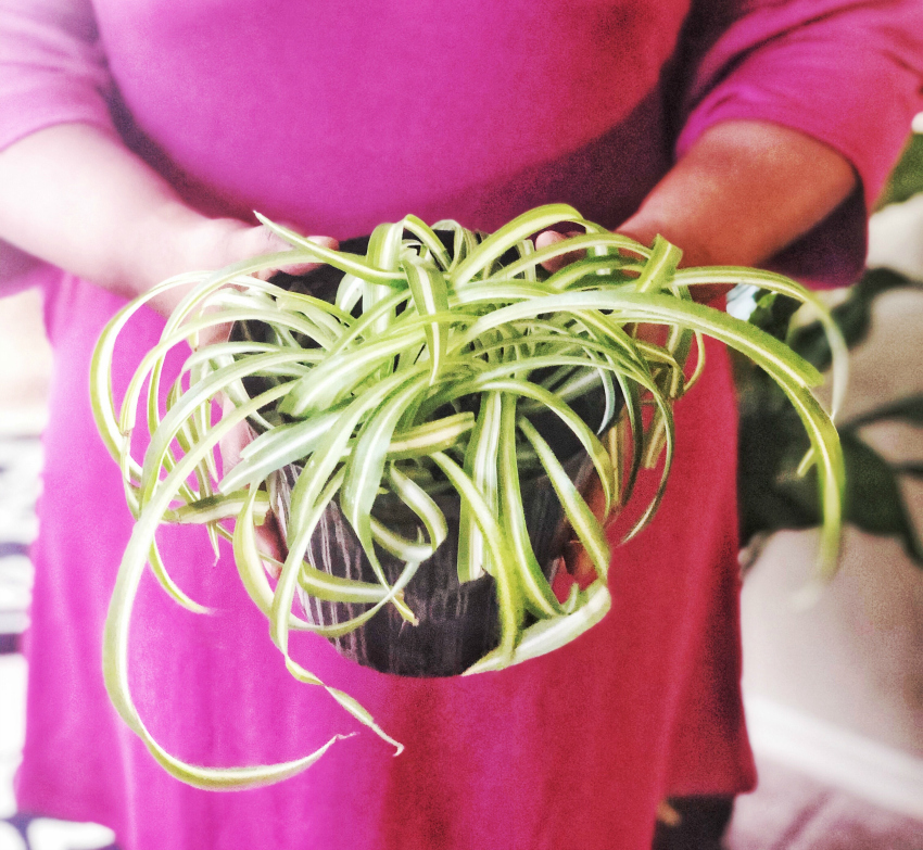 Spider Plant Low Maintenance Indoor Houseplant | FRO PLUS FASHION on indoor house plants that clean air, indoor plant decoration ideas, indoor house plants trees, indoor palm trees, indoor outdoor spider plants,