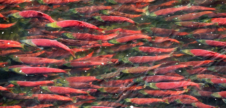 salmone-selvaggio-che-risale-la-corrente-del-fiume
