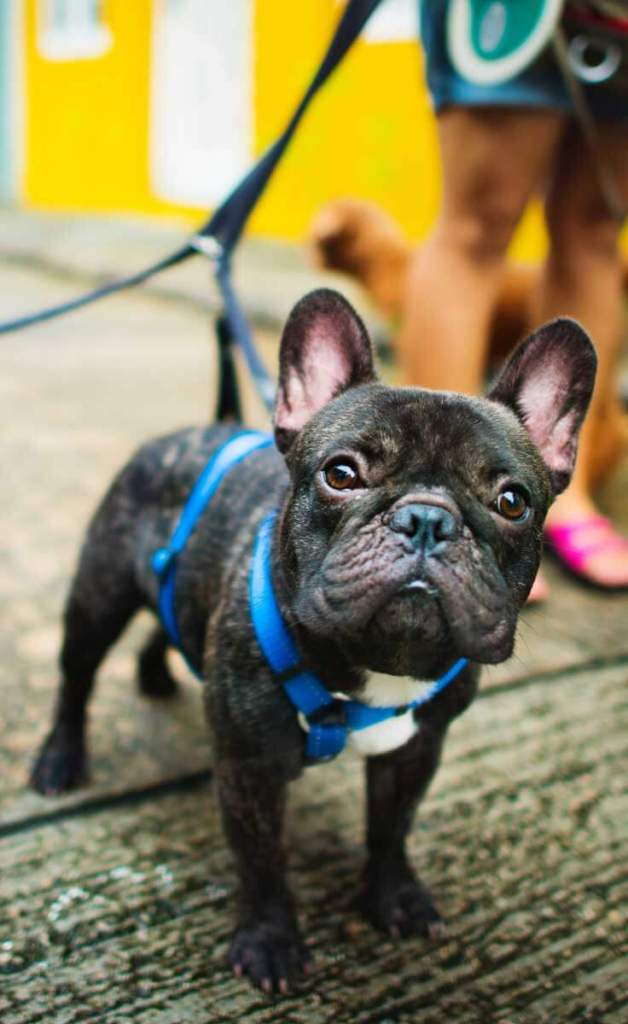 Close up of a brindle Frenchie on a bright blue leash, standing on a sidewalk.