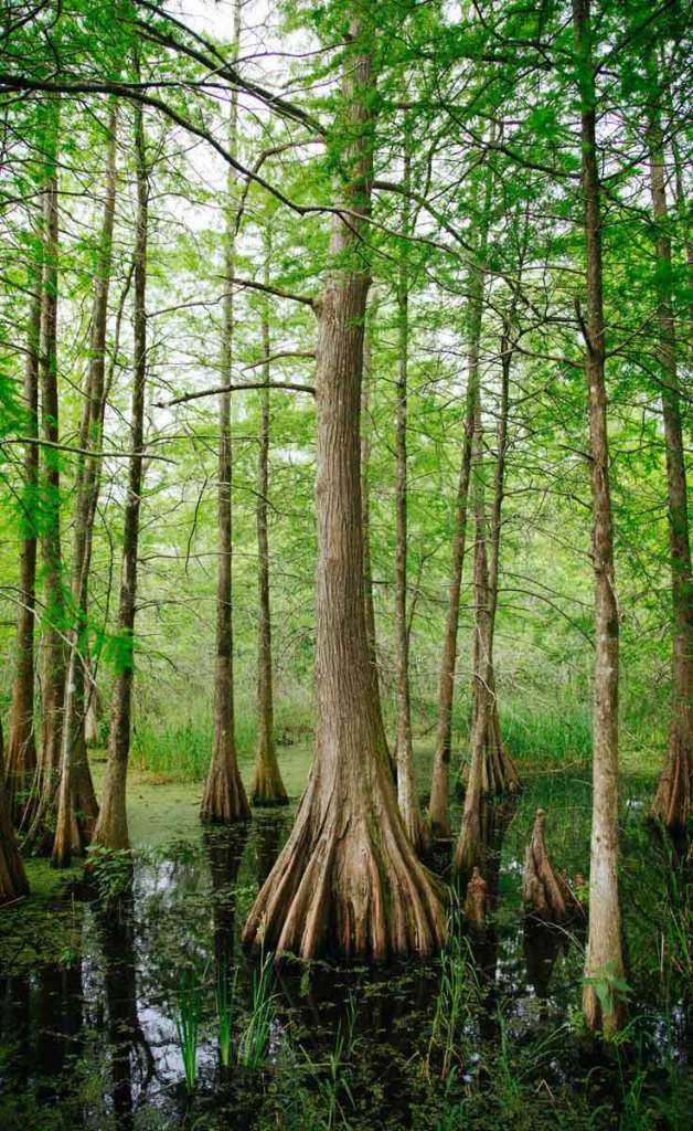 A forest of cypress trees growing out of a swamp.
