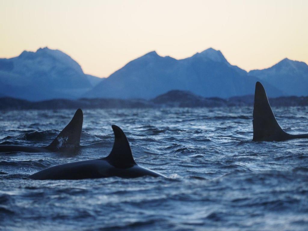Orka's in Noord-Noorwegen Foto: Christian Engelke ©