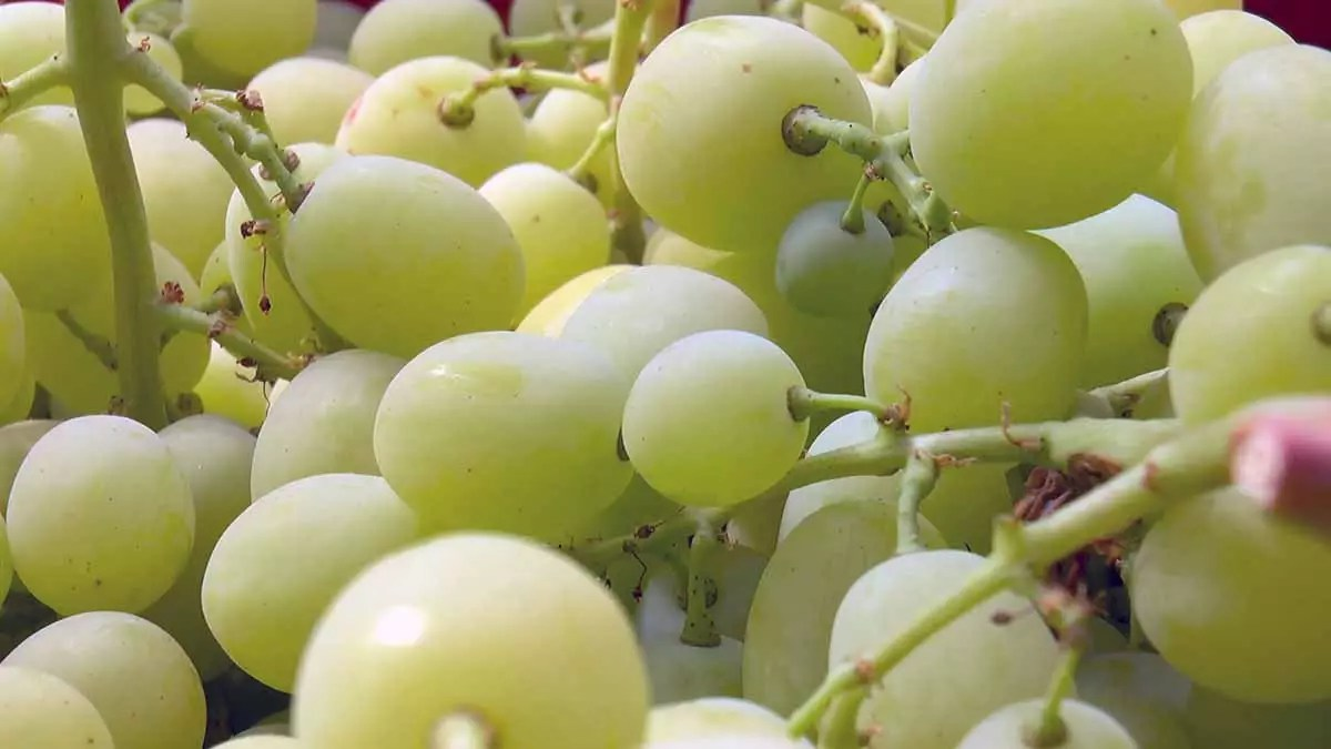 uva di Mazzarrone