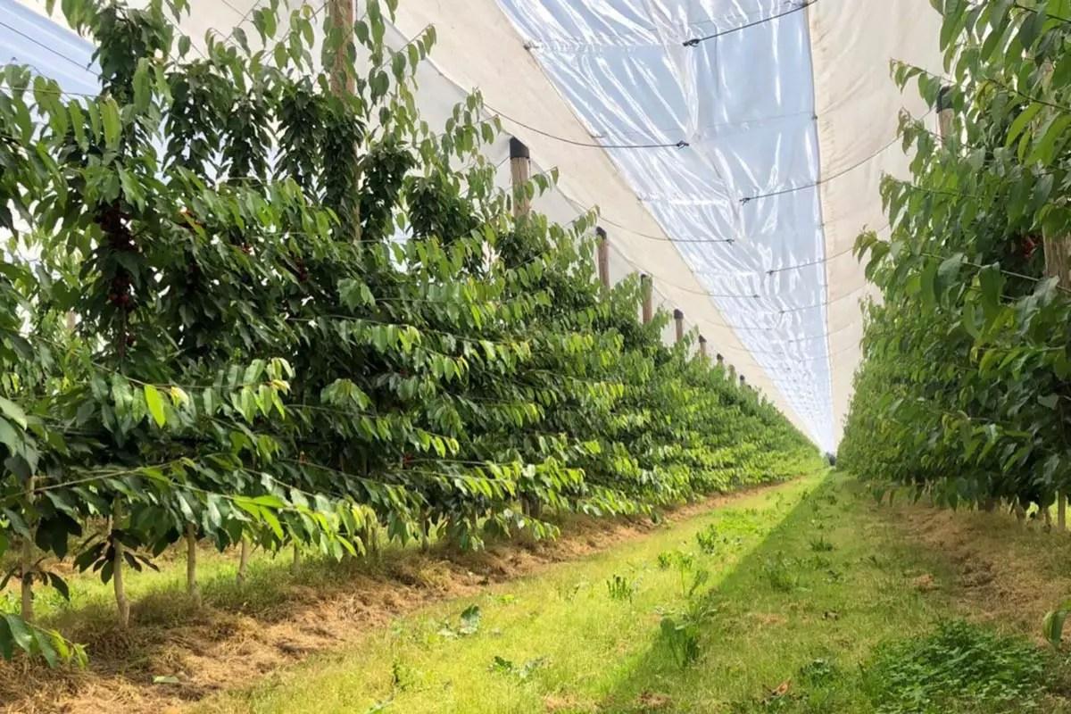 Rivoira-ciliegie-frutteti-2020