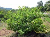 7 jostaberry bush