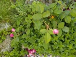 rosemunstead