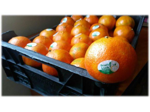 Egyptian Fremont fresh premium quality for export   Fruit Link