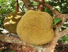 Yellow-Dragon-Fruit