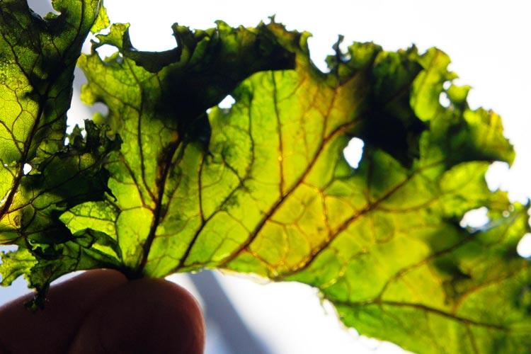 plantenicotina