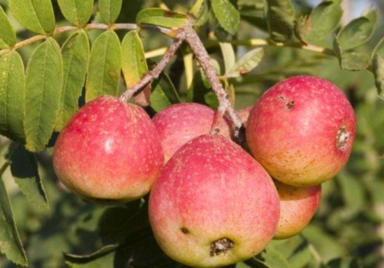Frutta sorbus-domestica