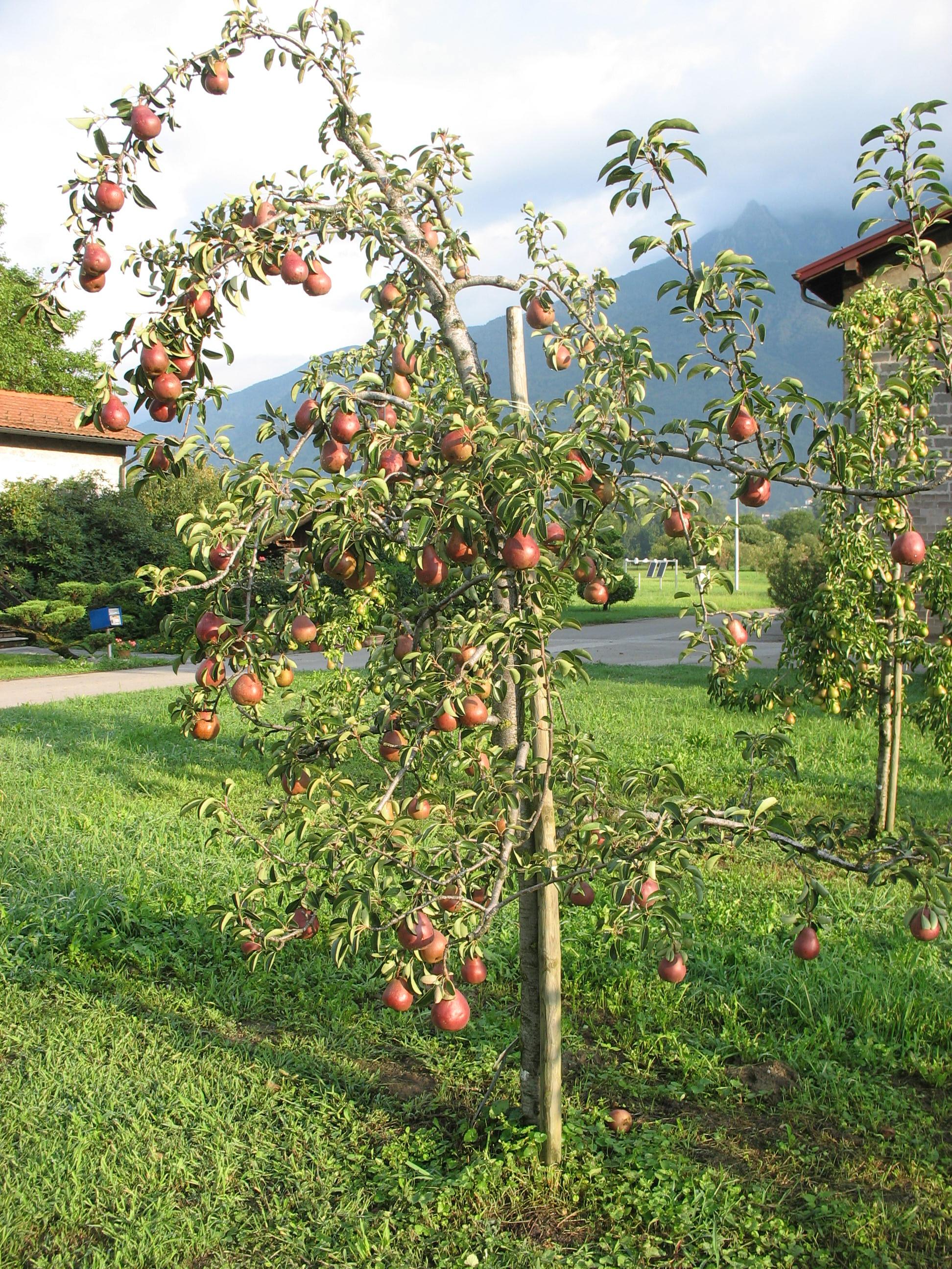 AFT  Associazione Frutticoltori Ticinesi  Pero