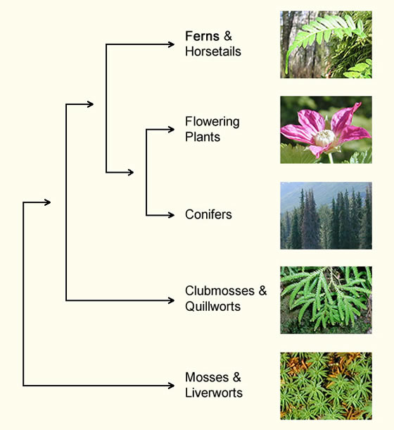horsetail plant diagram 93 chevy silverado stereo wiring what are ferns?
