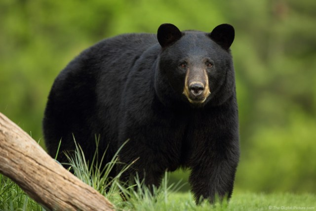 how not to get eaten by black bears