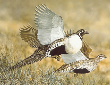 Greater sage grouse (Forest Service photo)