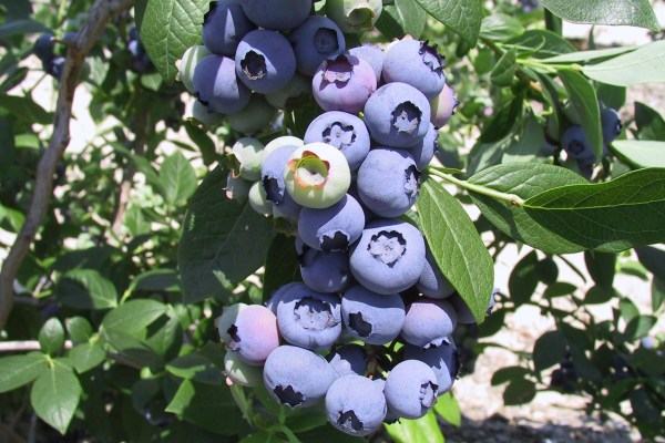 Fresh blueberries growing on the farm