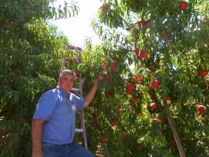 Man picking peaches at the farm