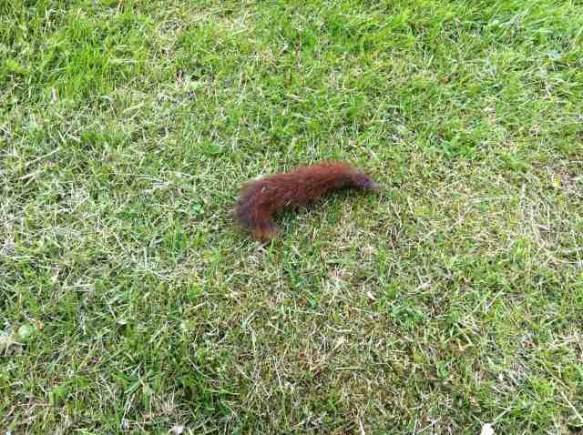 Bara den långa ludna svansen var kvar av ekorren.