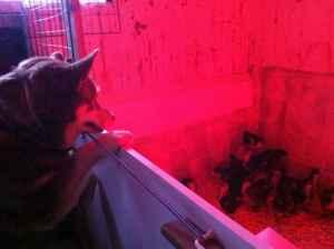 Kycklingarna har betydligt mer respekt för mig än för Pumah. Ibland undrar jag om de gjort en felprioritering.