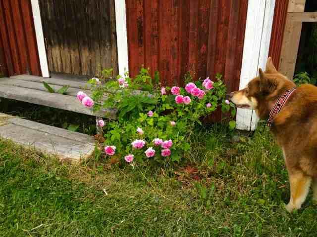 Mormors ros blommar för fullt utanför gäststugan. Båda buskarna verkar trivas bra och gillade den hönsgödsel jag gav dem tidigt i våras.