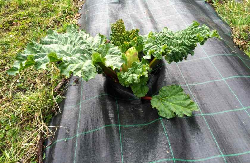 Störst och vackrast var ändå en av plantorna som växer med täckning. Och ännu är det bara precis i början på maj.