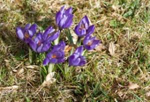 Krokusen är årets första färgklick i trädgården.