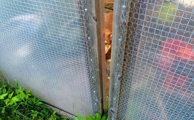 Inne i växthuset satt hon snällt och väntade på att jag skulle komma och öppna. Gick väl ingen nöd på henne – men ändå...