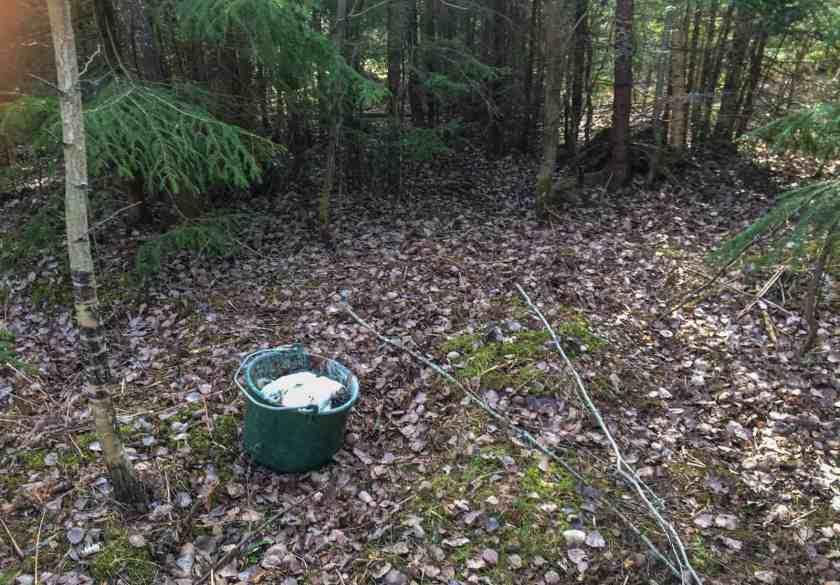 Efter slakten tar jag med hinken ut i skogen. I början gjorde jag misstaget att gräva ner dem närmare gården – men de tenderar då att komma upp igen. Antingen för min egen hand när jag ska gräva ner något annat – eller så får hunden vittring på fyndigheten.