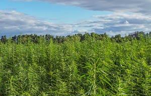 Jag är övertygad om att kommersiell odling av cannabis kommer att komma stort i framtiden. I Sverige ses Cannabis fortfarande i första hand som en farlig drog. Men jag är övertygad om att vi med tiden kommer att acceptera även de positiva sidorna som vi gjort med morfin och amfetamin. Foto: AdobeStock