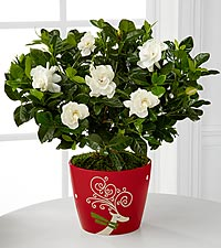 Winter Magic Gardenia