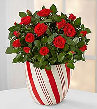 Candy Cane Christmas Mini Rose