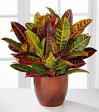 Warm Impressions Croton Plant