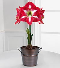 Holiday Monte Carlo Amaryllis Indoor Grow Kit